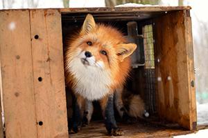 fox03.jpg