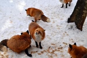 fox04.jpg